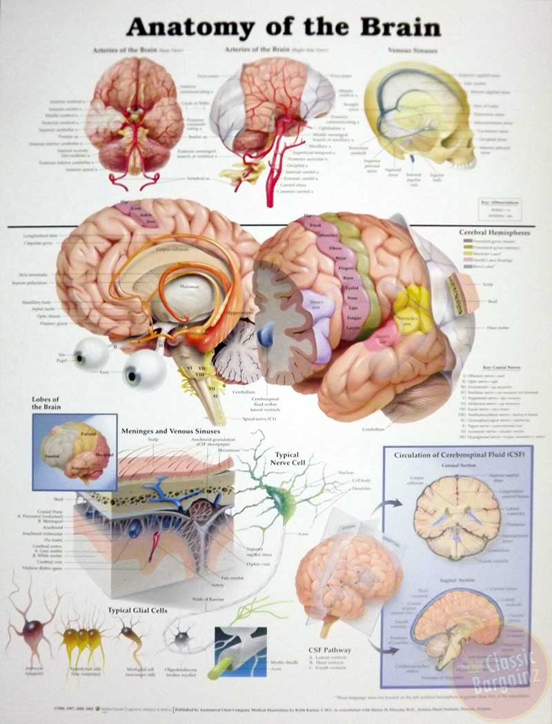 Anatomy-of-the-Brain-Anatomical-Chart-Poster-20-x-26-NEW-anatomy-human-mind