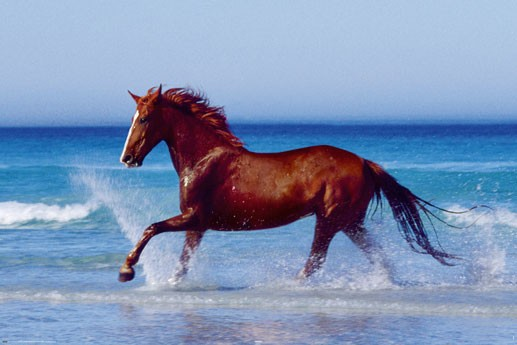 Beautiful Horse =POSTER= 60x90cm Running Galloping On Beach Water