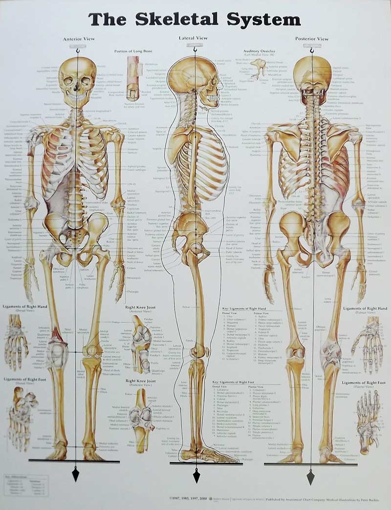 The Skeletal System Anatomical Chart Poster  20 U0026quot  X 26